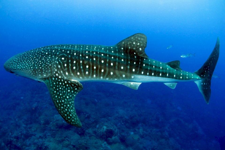 Les meilleurs endroits pour nager avec les requins-baleines